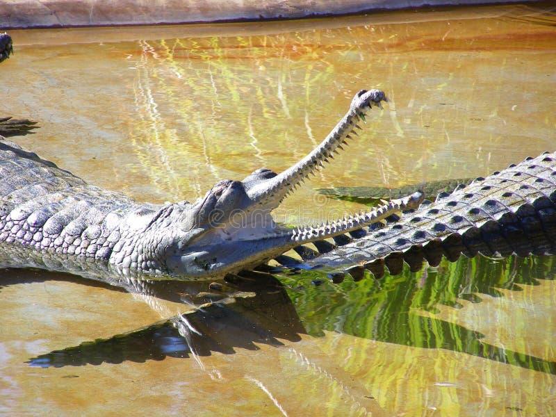 Lang-besnuffelde krokodil royalty-vrije stock foto's