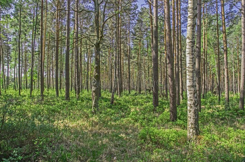 Lang bos in de vroege lente stock foto