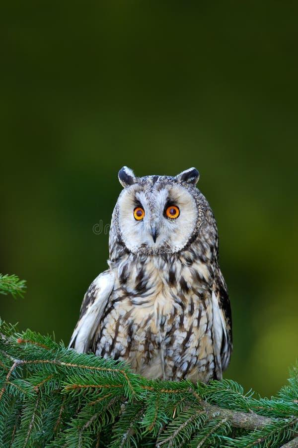 Lang-eared Uilzitting op de tak in het gevallen lariksbos tijdens de herfst Het wildscène van de aardhabitat Vogel op stock fotografie