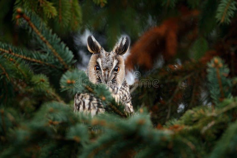 Lang-eared Uilzitting op de tak in het gevallen lariksbos tijdens de herfst Uil in de bos het Wildscène wordt verborgen van n dat stock foto's