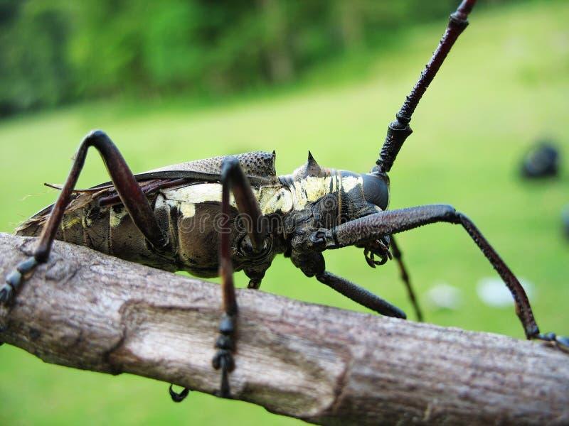 Lang-gehörnter Käfer stockfotografie