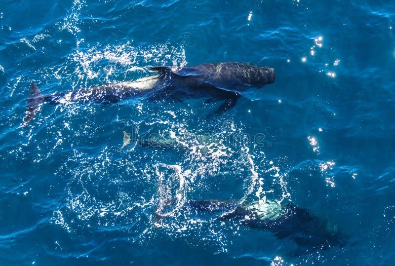 Lang-gerippter Pilot Whales lizenzfreie stockfotos