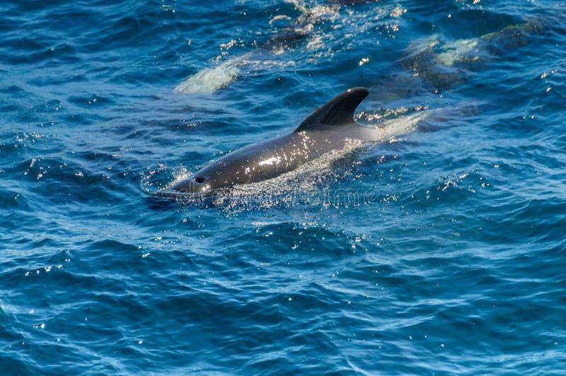 Lang-gerippter Pilot Whales im S?d-Atlantik lizenzfreies stockbild