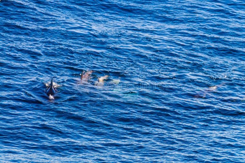 Lang-gerippter Pilot Whales im S?d-Atlantik lizenzfreie stockbilder