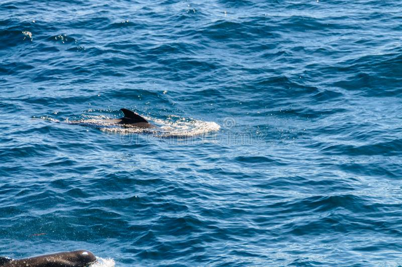 Lang-gerippter Pilot Whales im S?d-Atlantik stockbild