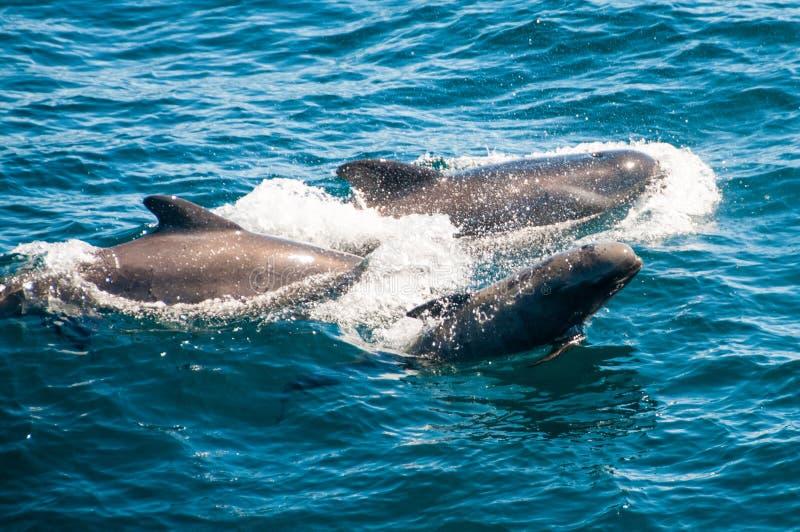 Lang-gerippter Pilot Whales stockfoto
