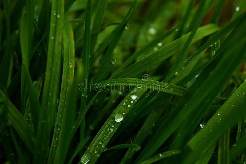 Lang grünes Gras, Regentropfen lizenzfreies stockbild
