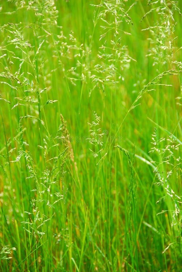 Lang gras stock afbeeldingen