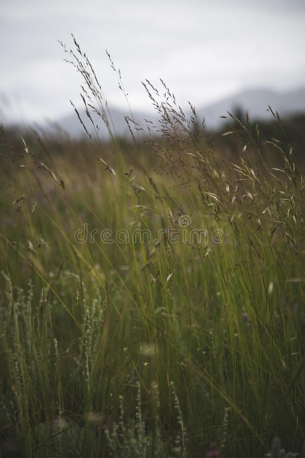 Lang Gras royalty-vrije stock afbeelding