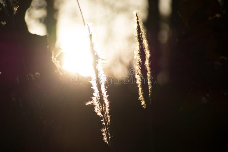 Lang Gras bij Zonsondergang stock foto's