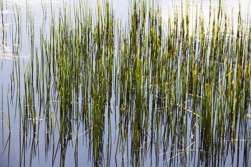 Lang gras in de vijver royalty-vrije stock afbeelding