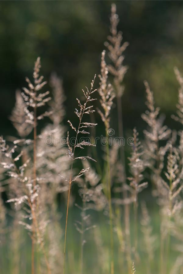 Lang Gras met Stuifmeel stock foto's