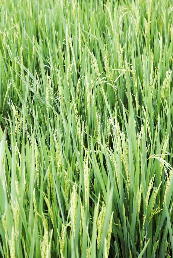 Lang lang de padiegebied Kerala van het rijstgras stock afbeelding