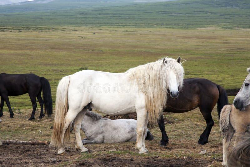 Lang maned wit Mongools paard stock afbeeldingen