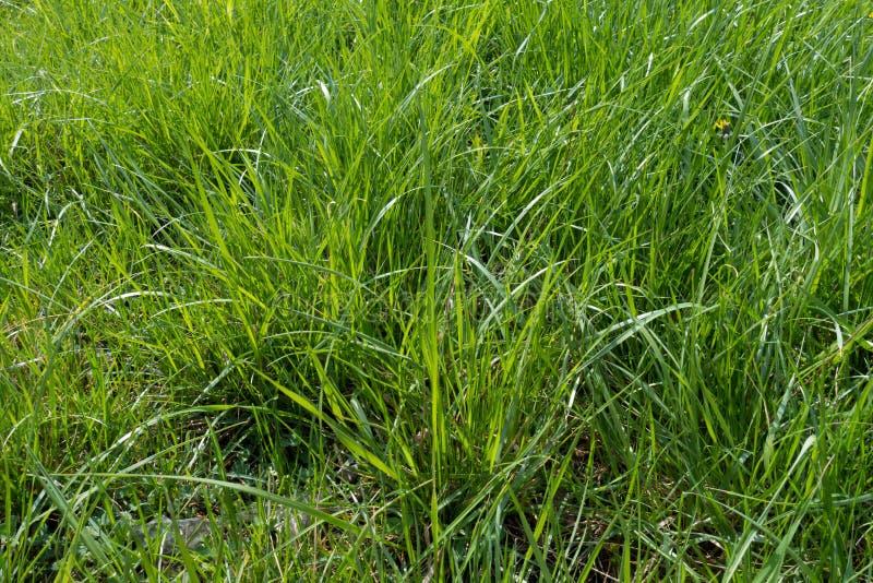 Lang weelderig groen gras in helder zonlicht royalty-vrije stock afbeeldingen