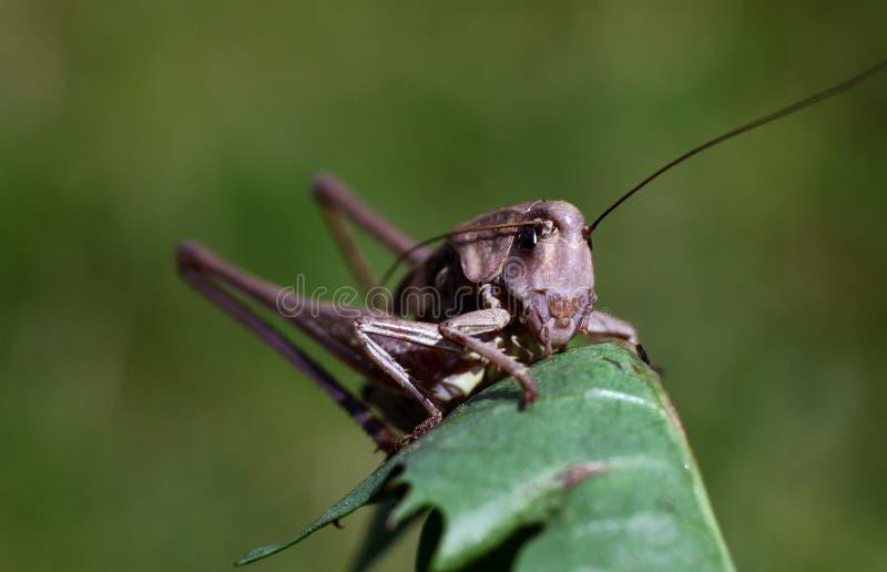 Langbeinige Heuschrecke, die auf dem grünen Gras sitzt stockfoto