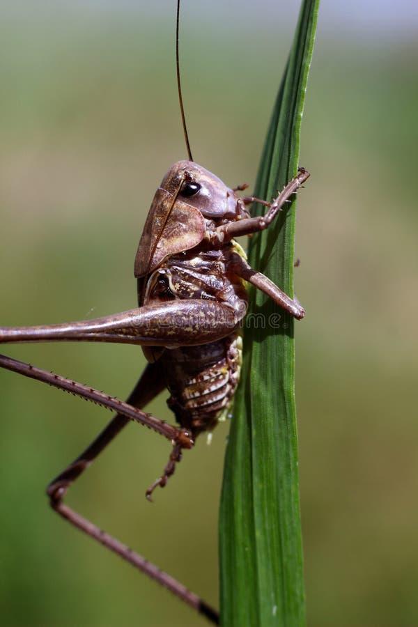 Langbeinige Heuschrecke, die auf dem grünen Gras sitzt lizenzfreie stockfotos