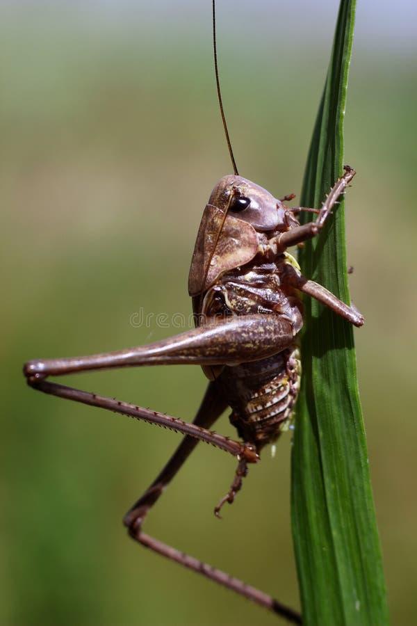 Langbeinige Heuschrecke, die auf dem grünen Gras sitzt stockbild