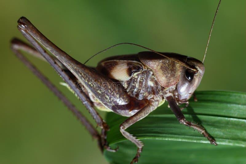 Langbeinige Heuschrecke, die auf dem grünen Gras sitzt stockfotos