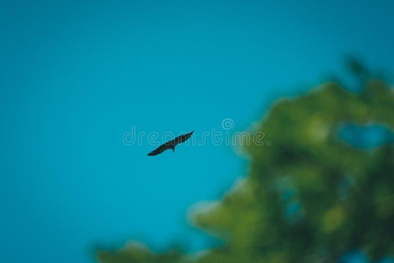 Lange-afstands schot van een vogel die in duidelijke blauwe hemel vliegen royalty-vrije stock afbeeldingen