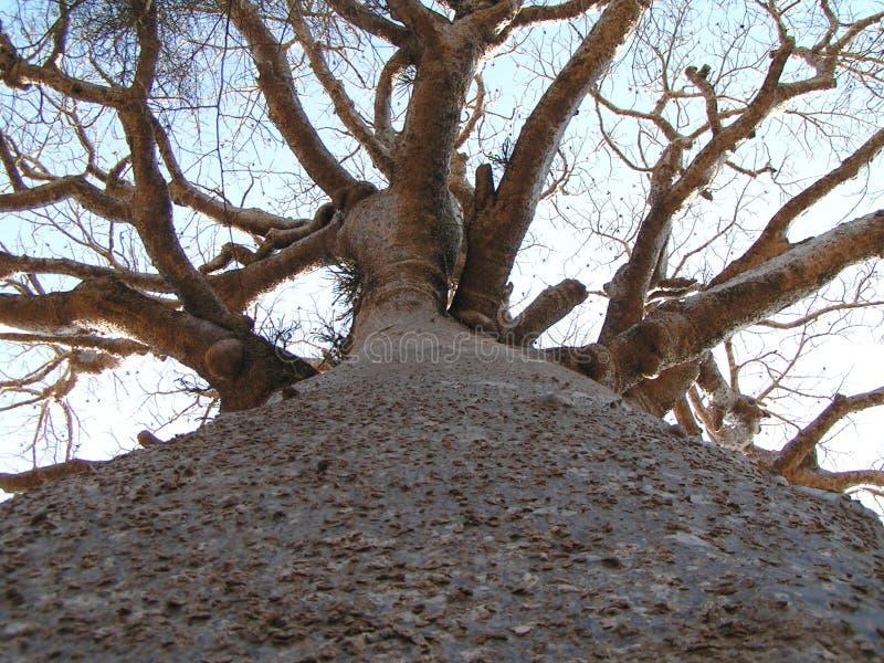 Lange Baobab stock afbeelding