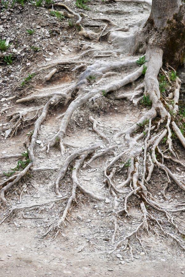 Lange Baumwurzeln auf der trockenen Bodenoberfläche, Inseln des grünen Grases Russland, Izborsk stockbilder