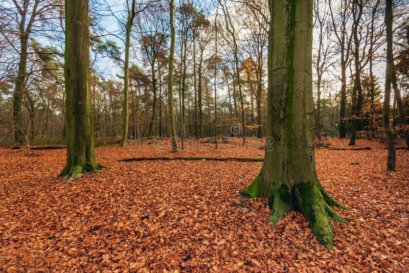 Lange beukbomen in een tapijt van gevallen bruin-rode bladeren royalty-vrije stock foto