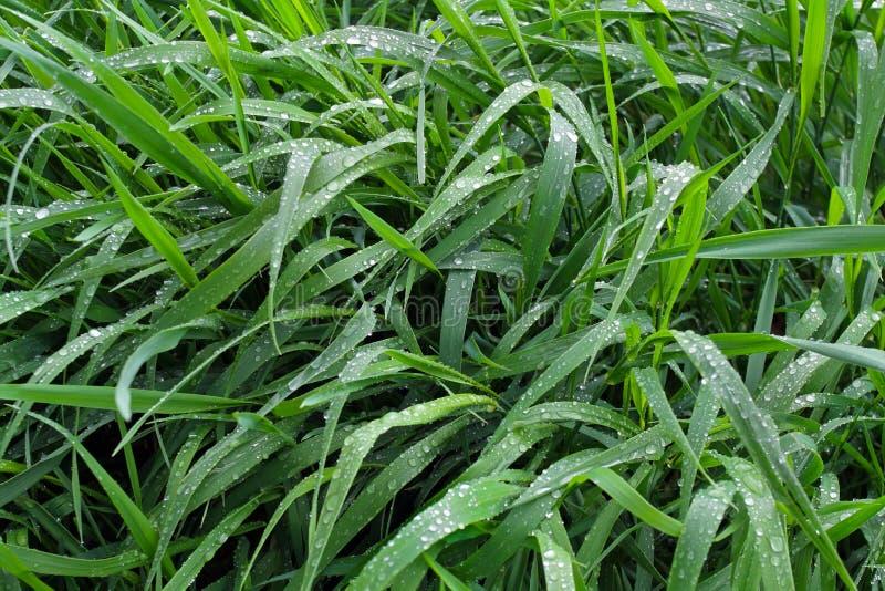 Lange Blätter des Wiesengrases werden mit Tropfen des reinen Taus bedeckt stockfoto