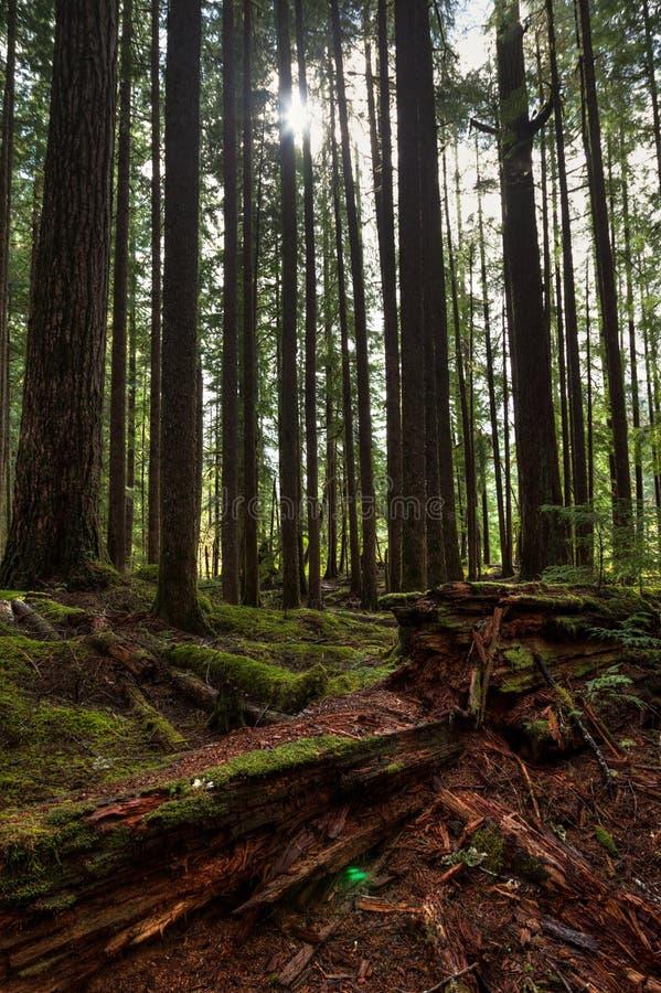 Lange bomen en het rotten Californische sequoialogin de voorgrond en de zon die tussen bomen in Hoh Rain Forest glanzen royalty-vrije stock afbeeldingen