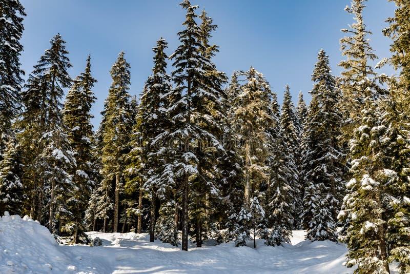 Lange bomen op de rand van Stevens Pass Lot 3 parkeerterrein met een verse witte snowbank vooraan royalty-vrije stock afbeeldingen