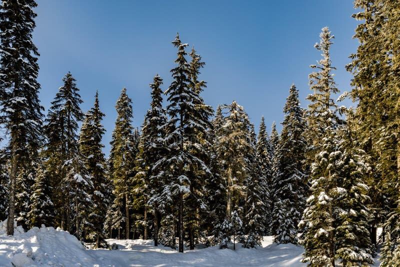 Lange bomen op de rand van Stevens Pass Lot 3 parkeerterrein met een wenk van verse witte snowbank vooraan royalty-vrije stock foto