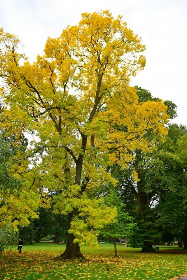 Lange boom met gele bladeren in de herfst, in de Botanische Tuinen van Christchurch royalty-vrije stock foto