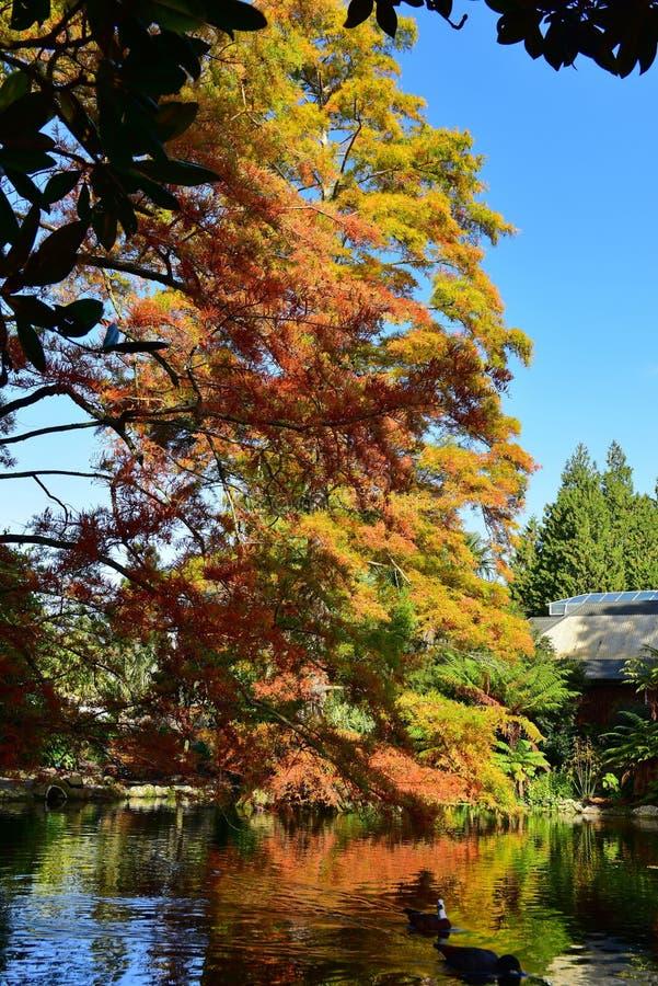 Lange boom met oranje en gele bladeren in de herfst, in de Botanische Tuinen van Christchurch royalty-vrije stock fotografie