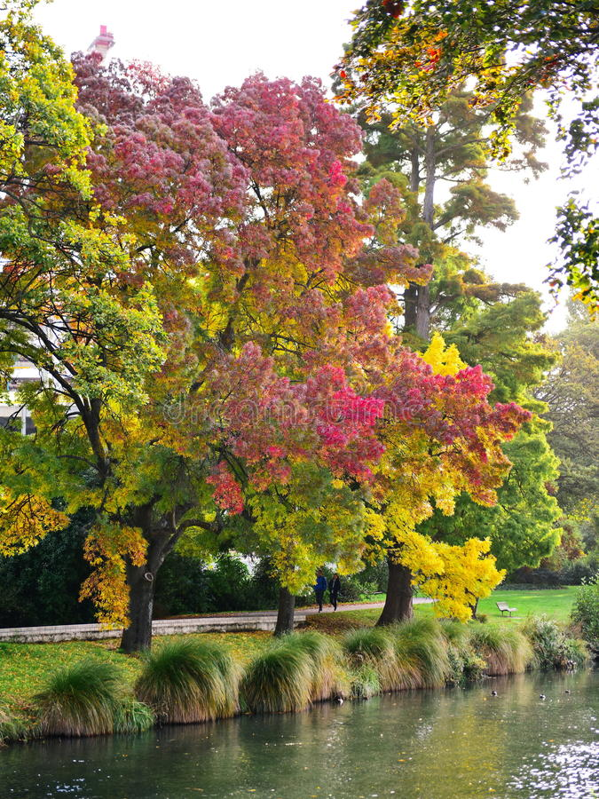 Lange boom met rode en gele bladeren in de herfst, in de Botanische Tuinen van Christchurch royalty-vrije stock foto's