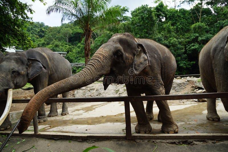 lange boomstam Thaise olifant royalty-vrije stock afbeeldingen
