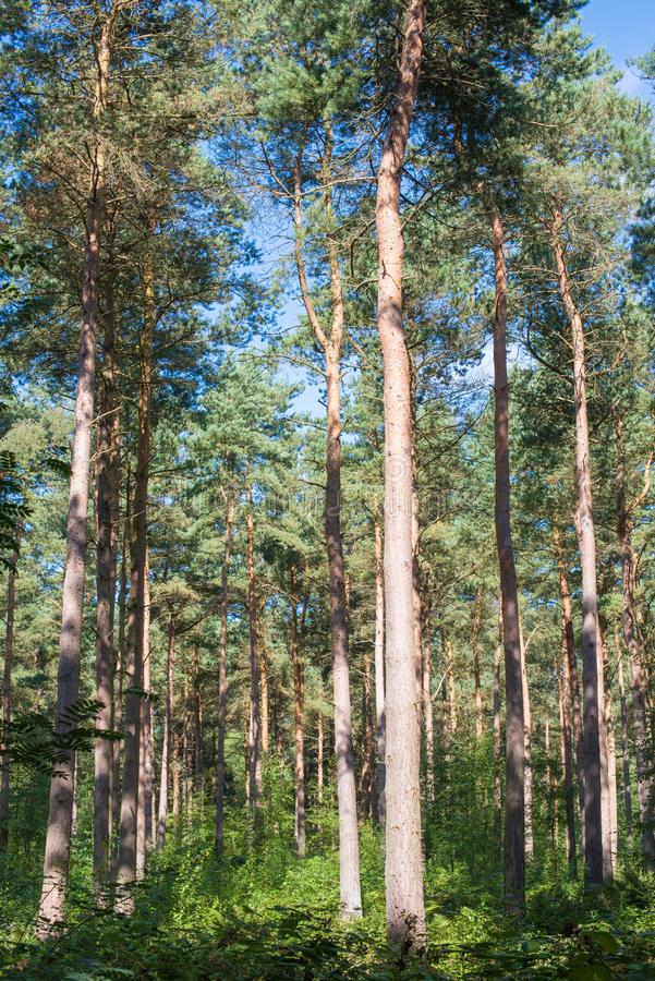 Lange confiers in de grote Bosbouwcommissie ` s Allerthorpe streven na stock foto