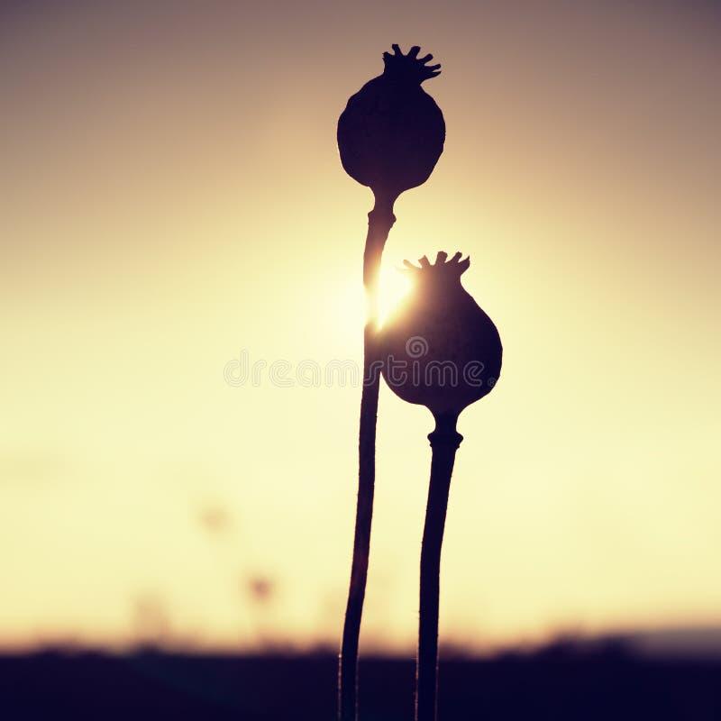 Lange droge steel van papaverzaad Avondgebied van papaverhoofden met zon bij horizon royalty-vrije stock afbeeldingen