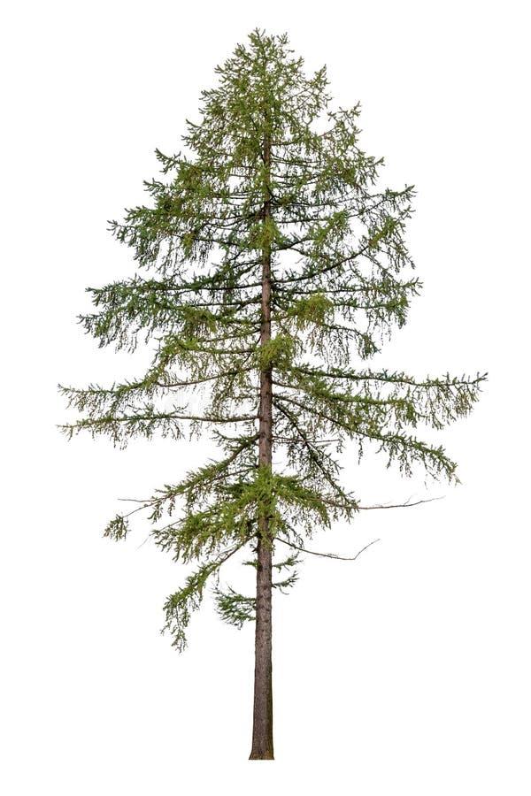 Lange Europese die lariksboom op wit wordt geïsoleerd royalty-vrije stock foto's