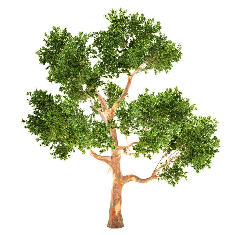Lange Geïsoleerde Eucalyptusboom vector illustratie