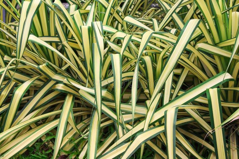 Lange gelbe Blätter mit Linie Grünrandmuster oder bunte goldene Klinge im Garten, Zierpflanzen der Natur stockfotografie