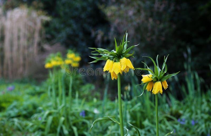 Lange Gele Fritillaria Imperialis in het Park stock foto