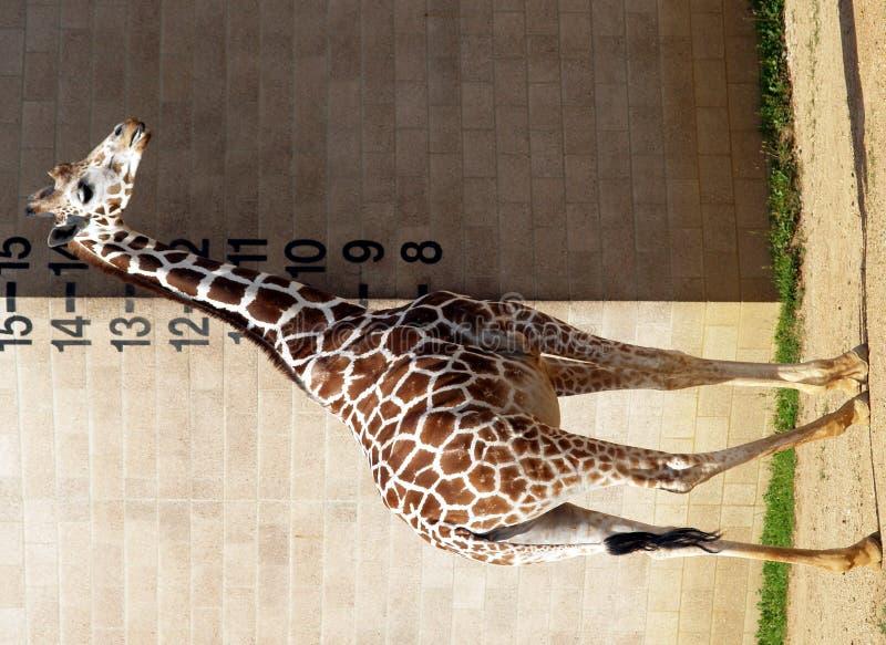 Lange giraf stock foto