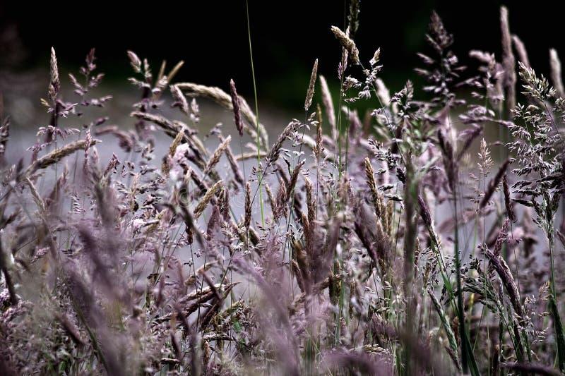 Lange Gräser stockfoto