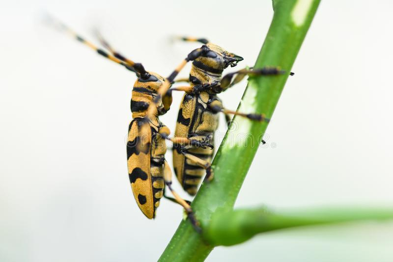 Lange hoornkever op de takboom/Dichte omhoog gele en zwarte kever royalty-vrije stock afbeelding
