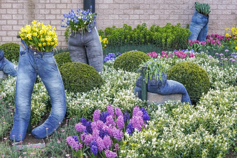 Lange Hosen benutzt als Pflanzer für Narzissen, Muscari und Tulpen zwischen dem Buchsbaum und dem Euonymus stockbild