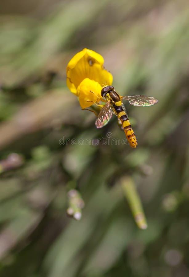 Lange Howerfly op gele Boterbloemenbloem royalty-vrije stock foto