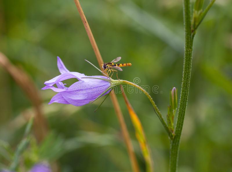 Lange Howerfly op violette Rampion bellflower stock afbeeldingen