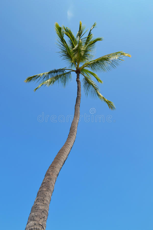 Lange Kokospalm royalty-vrije stock foto