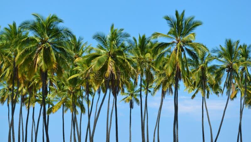Lange Kokospalmen royalty-vrije stock afbeelding