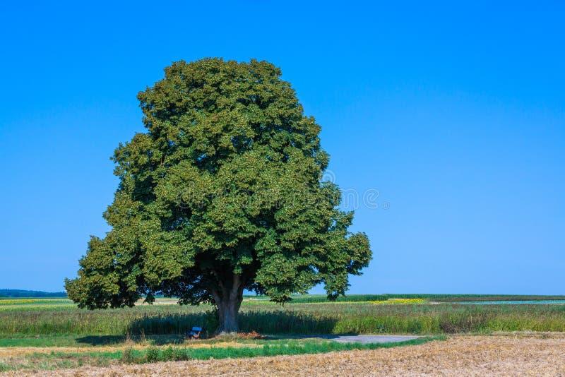 Lange lindeboom in het landschap royalty-vrije stock afbeelding